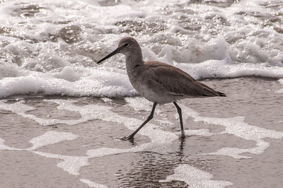Willet Walks