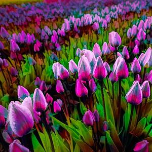 Tulip Visions