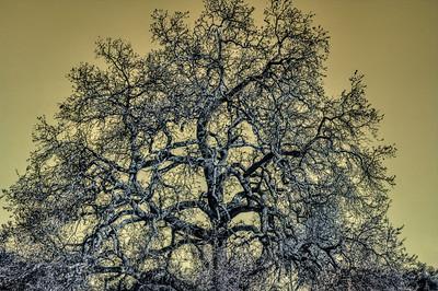 Oak Tree Beauty Defined