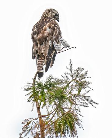 Juvenile Hawk