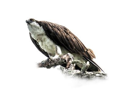 Osprey on Branch 3