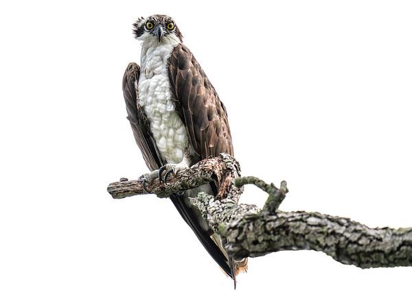 Osprey on Branch 5