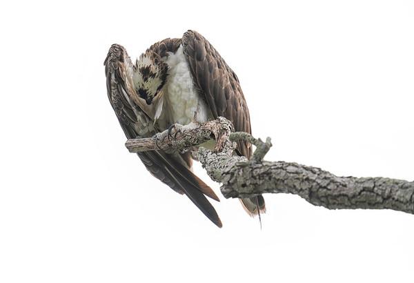 Osprey on Branch 6
