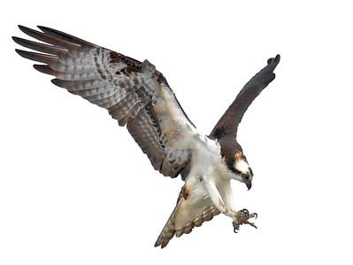 Osprey Landing 2