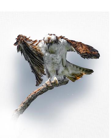 Osprey on Branch 1