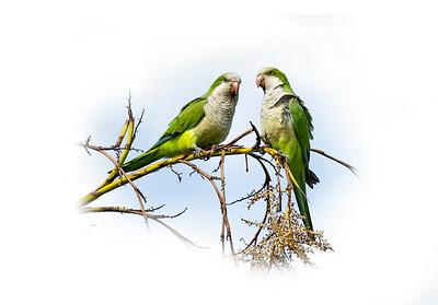 Wild Green Parrots 1