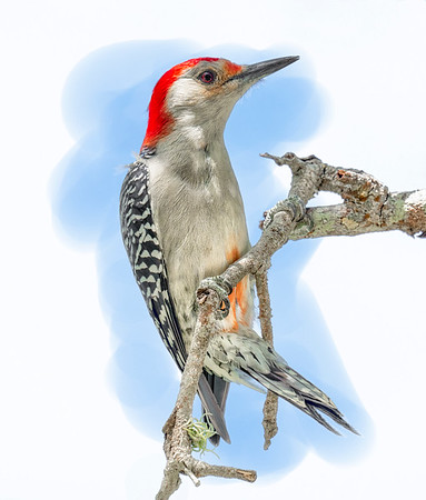 Red-Bellied Woodpecker 1 DA