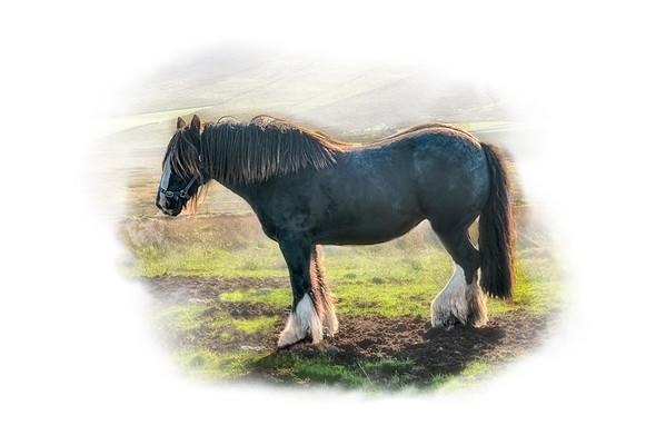 Irish Horse 1
