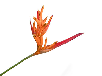 Paradise Flower 1