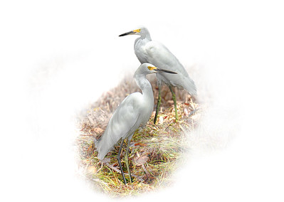 Egrets in Mangrove 2