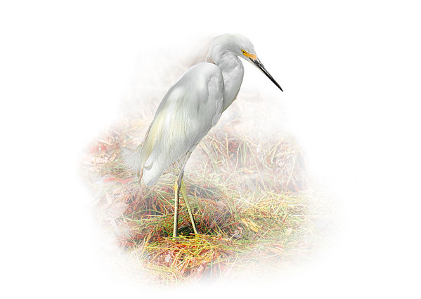 Egret in Mangroves 1