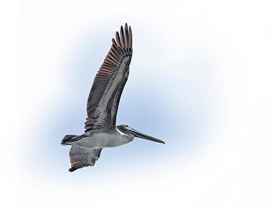 Flying Pelican 2