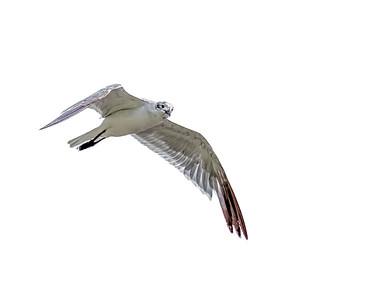 Flying Seagull 1