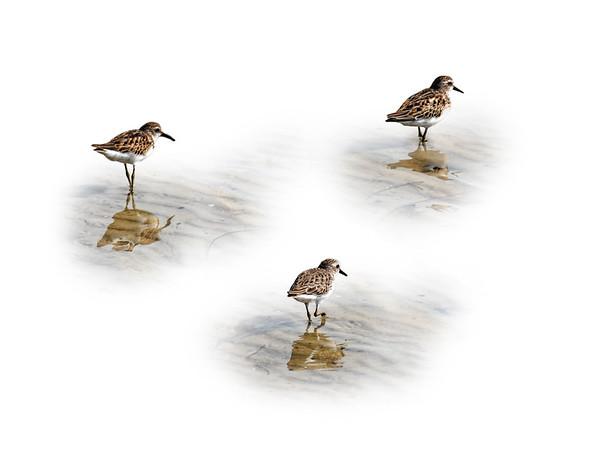 Sandpiper Trio
