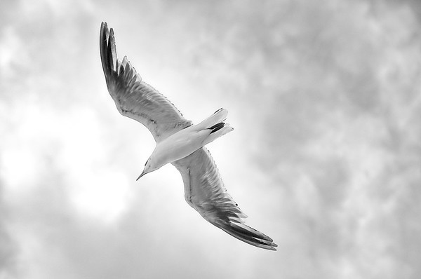 Seagull Wings BW