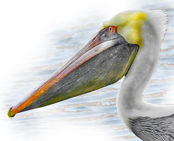 Pelican Head
