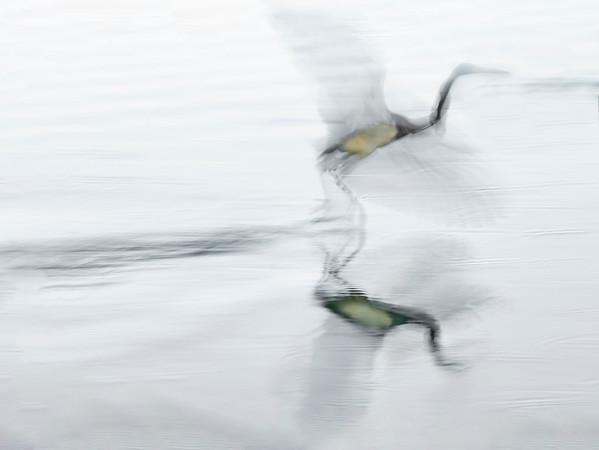 Tricolor Heron Flying DA