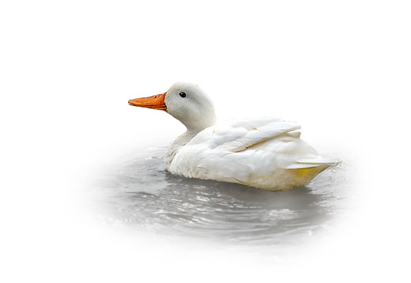 White Mallard 1