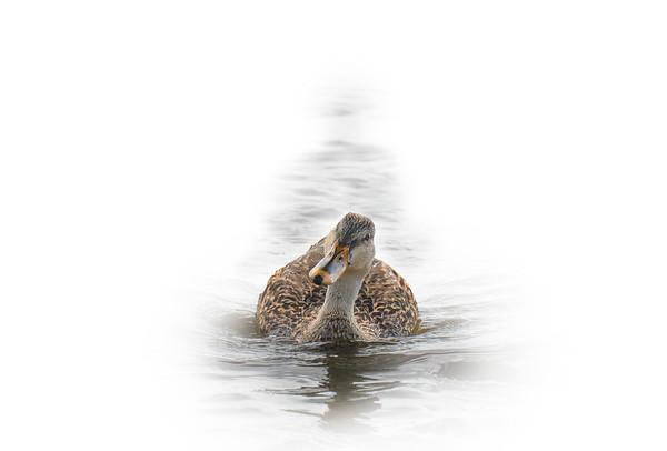 Mallard Swimming 4