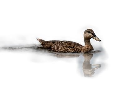 Mallard Swimming 2
