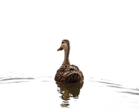 Bye Bye Duck 1