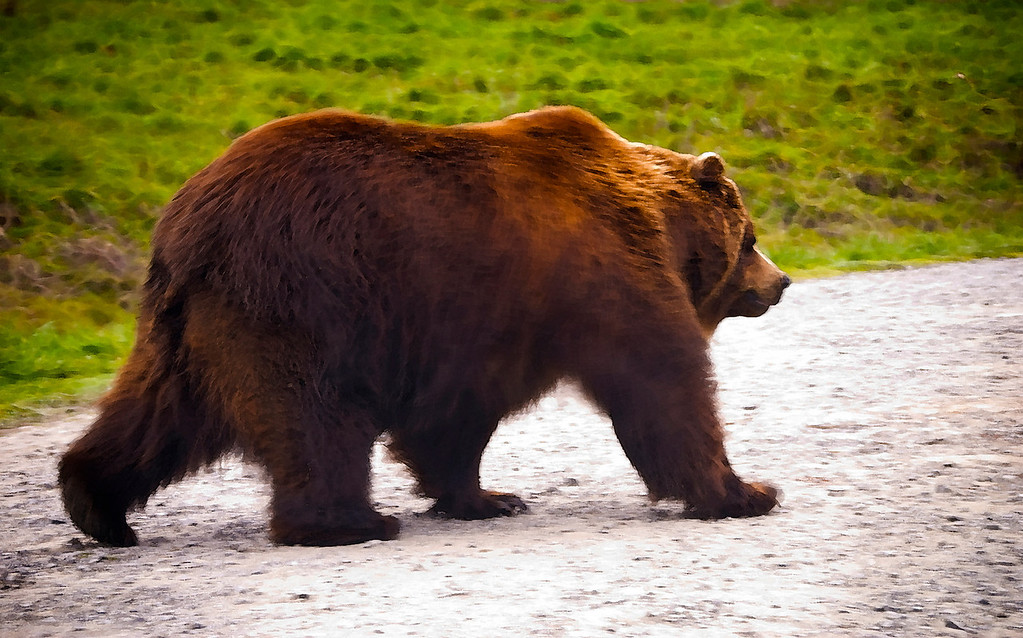 Brown Bear<br /> Wildlife Safari, Winston, Oregon
