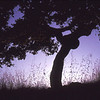 """Oak At Daybreak"" (Original photograph by WB Eckert, Digital print)"