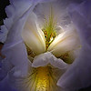 """White Iris: The Secret Life""  (Original photograph by WB Eckert, digital print)"