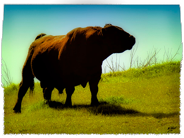"""Beef in the Prime"" (Original photograph by WB Eckert, digital print)"