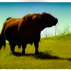 """""""Beef in the Prime"""" (Original photograph by WB Eckert, digital print)"""