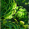 """Succulents"" (Original photograph by WB Eckert, digital print)"
