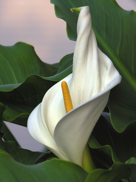 """Lily Confection"" (Original photograph by WB Eckert, digital print)"