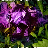 """Fiery Iris"" Original photograph and digital work by WB Eckert. Digital print"