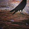 """Crow on the Beach"" (Original photograph by WB Eckert, digital print)"
