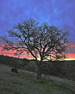 Sierra Oaks and Cows - Jan 2016