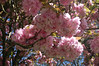The cherry trees are laden with blooms this year.