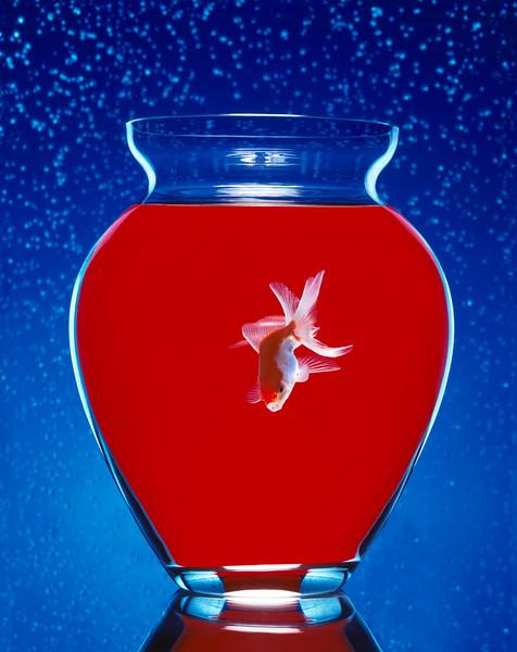 """The Goldfish"""