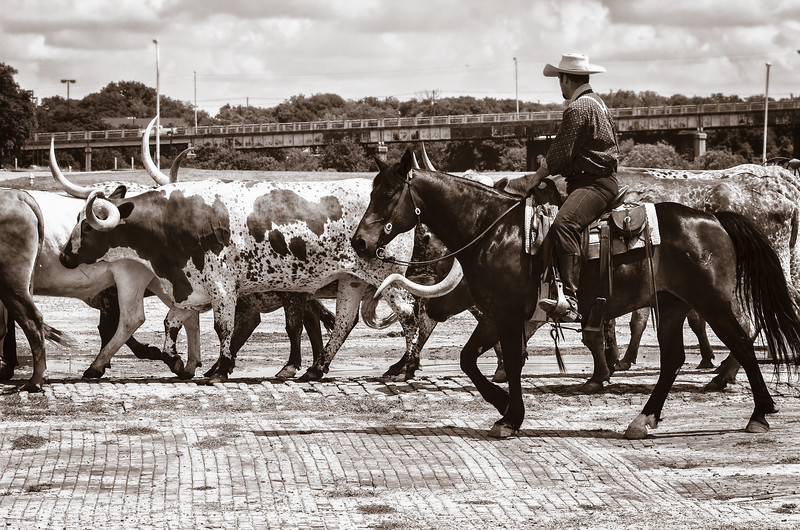 Cattle drive, Stockyards Historic District, Fort Worth, Texas