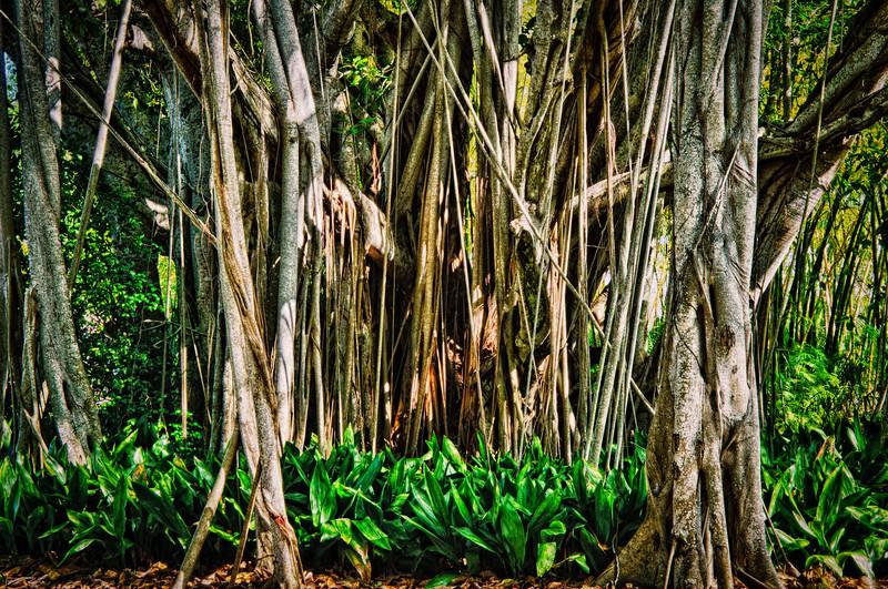 Banyan tree, Ringling Museum, Sarasota, Florida