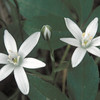 Star-of-Bethlehem (Ornithogalum umbellatum), Great Falls, Virginia