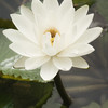 Water Lily, Codrington College, St John Parish, Barbados