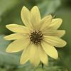 Bee on Sunflower (Helianthus), Backbone Mountan, Garrett County, Maryland, USA