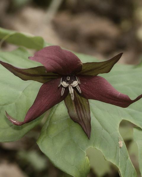 Red Trilium (Trilium erectum), Natural Bridge State Park, Kentucky, USA