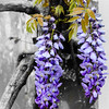Wisteria, Sotterley Plantation, Hollywood, St. Mary's County, Maryland