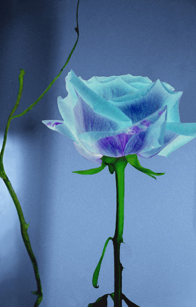 Blue Rose, 1992<br /> Darkroom Cross Processing