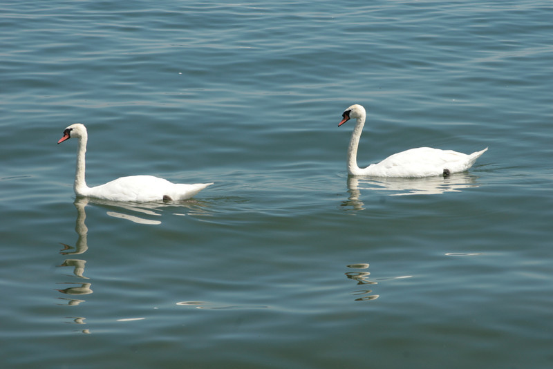 Swans on the Lake
