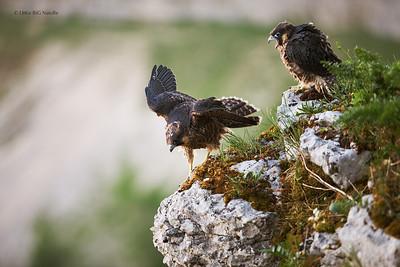 Faucons pèlerin