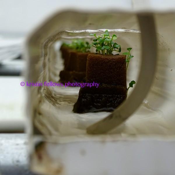 growing watercress in gutters
