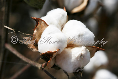 Cotton plants close-up side of a boll open in a field of cotton.