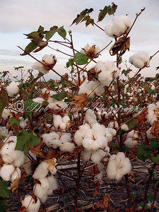 Cotton plants close-up in a field of cotton.